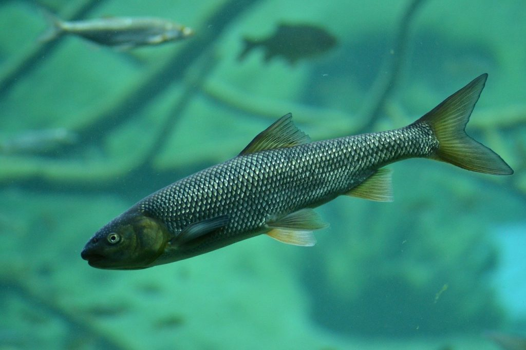 brook trout, trout, fish